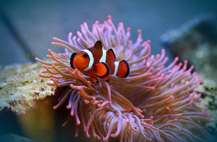 what do clownfish eat