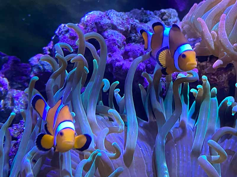 how to train a clownfish to host an anemone
